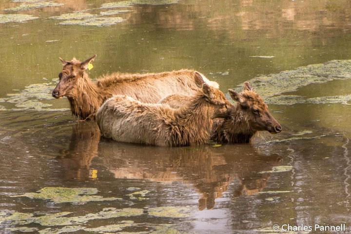 Elk taking a dip at the West Virginia Wildlife Center