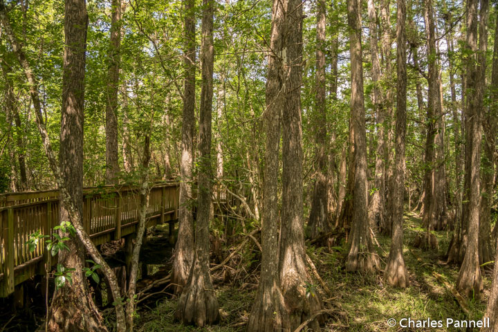 Cypress trees along the Kirby Storter Boardwalk