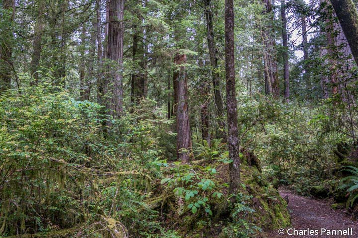 The Nature Trail at Jedidiah Smith Redwoods State Park