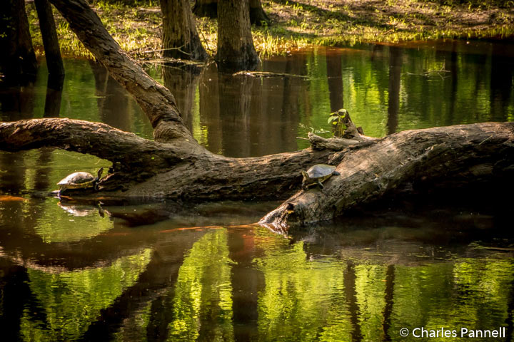 Turtles on the River Trail at Suwannee River State Park