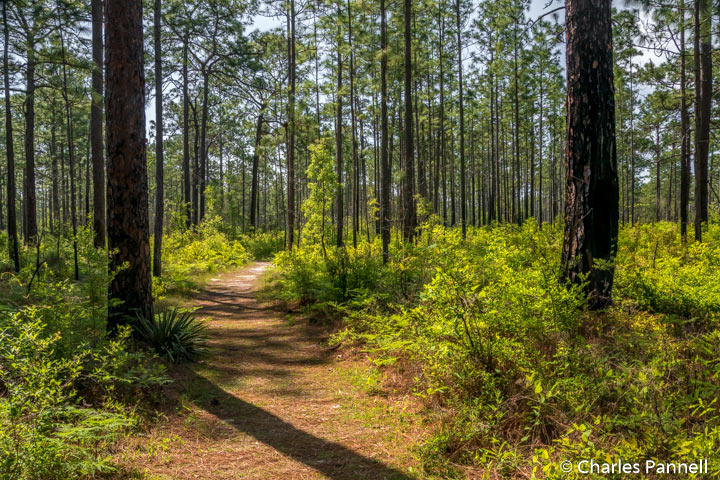 The Sandhill Trail at Suwannee River State Park