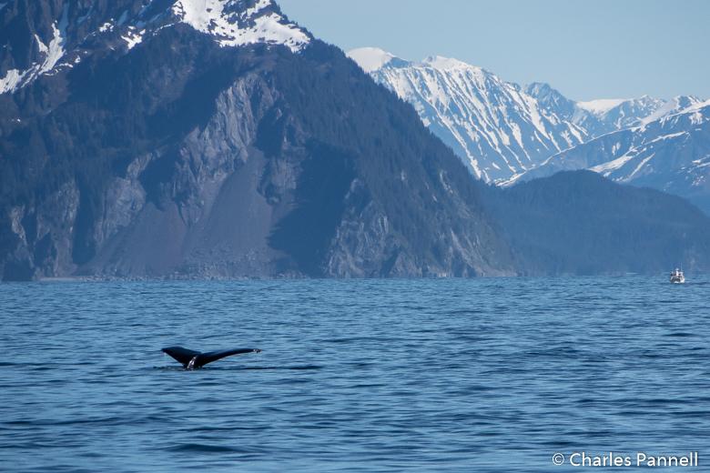 Humpback whale fluking on Kenai Fjords Tour