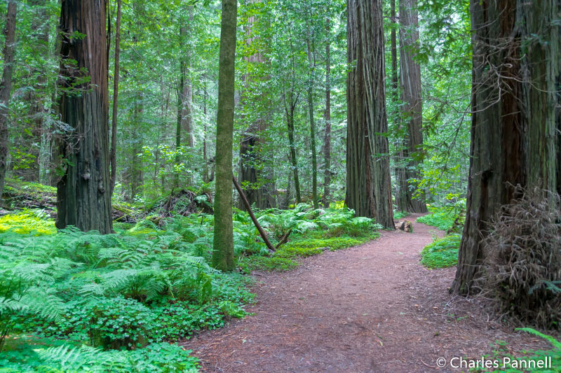 Drury-Cheney Grove on the Avenue of the Giants