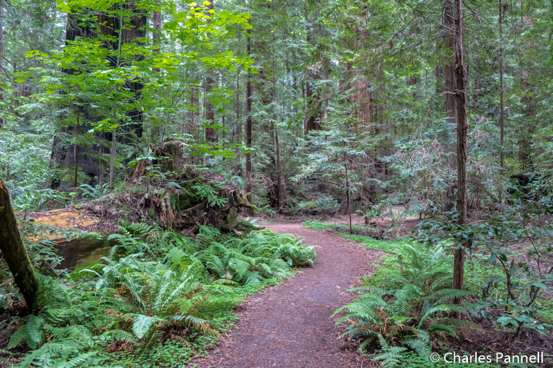 Gould Grove in Avenue of the Giants