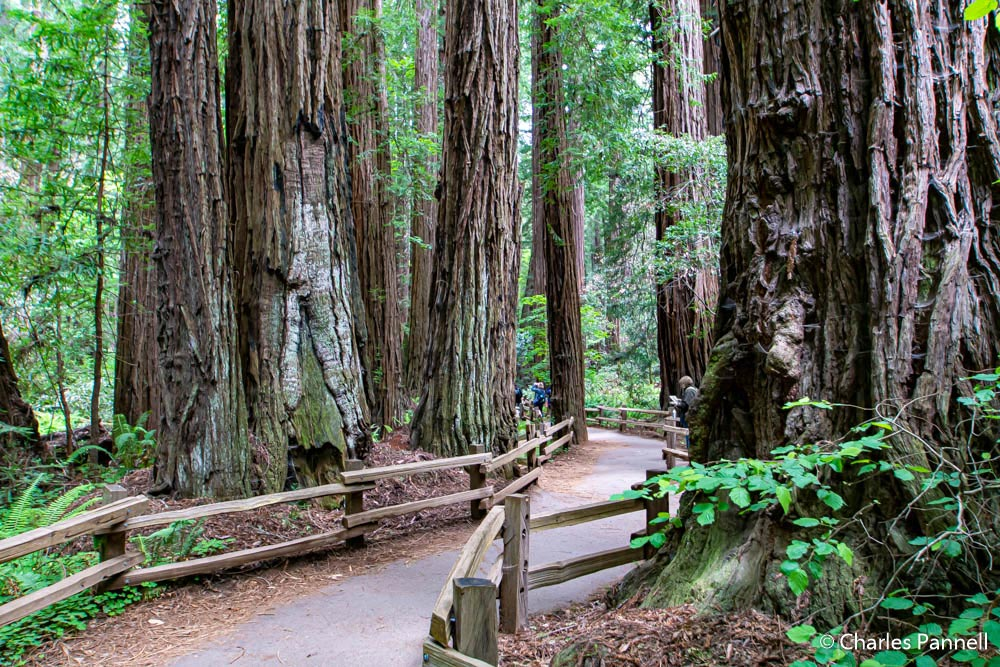 Wide, flat, smooth trail in Muir Woods National Monument