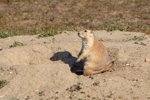 Prairie dog standing on his haunches in Theodore Roosevelt National Park