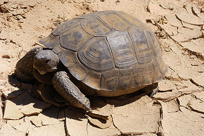 In Search of the Elusive Desert Tortoise