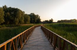 A beautiful shot of a boardwalk in the park surrounded by tall grasses and trees during sunrise