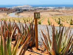 Nieuwe Aloe Vera plantage in El Goro op Gran Canaria