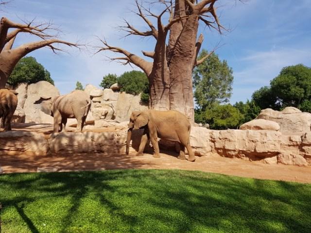 bioparc-valencia-elefant