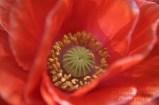 orange poppy2