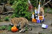 The tigers birthday, October 31.