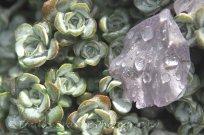 Succulent and petals