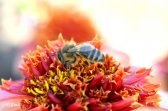 Photograph of a bee working by Emilia Brasier Photography