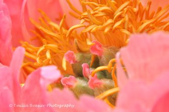 close up photograph of peony
