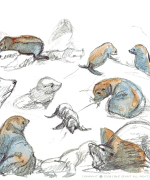 seal, animals, Emilie Geant, illustration, sketch, new zealand