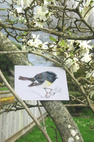 bird , new zealand , native , watercolor , ink , illustration