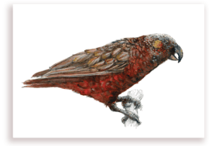 emilie geant, new zealand, , bird, painting, watercolor, New Zealand, native, art, print, poster, feather, parrot, kaka