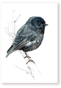 emilie geant, new zealand, , bird, painting, watercolor, New Zealand, native, art, print, poster, feather, black robin, robin