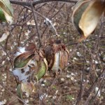 Cotton pods that did not open enough to harvest