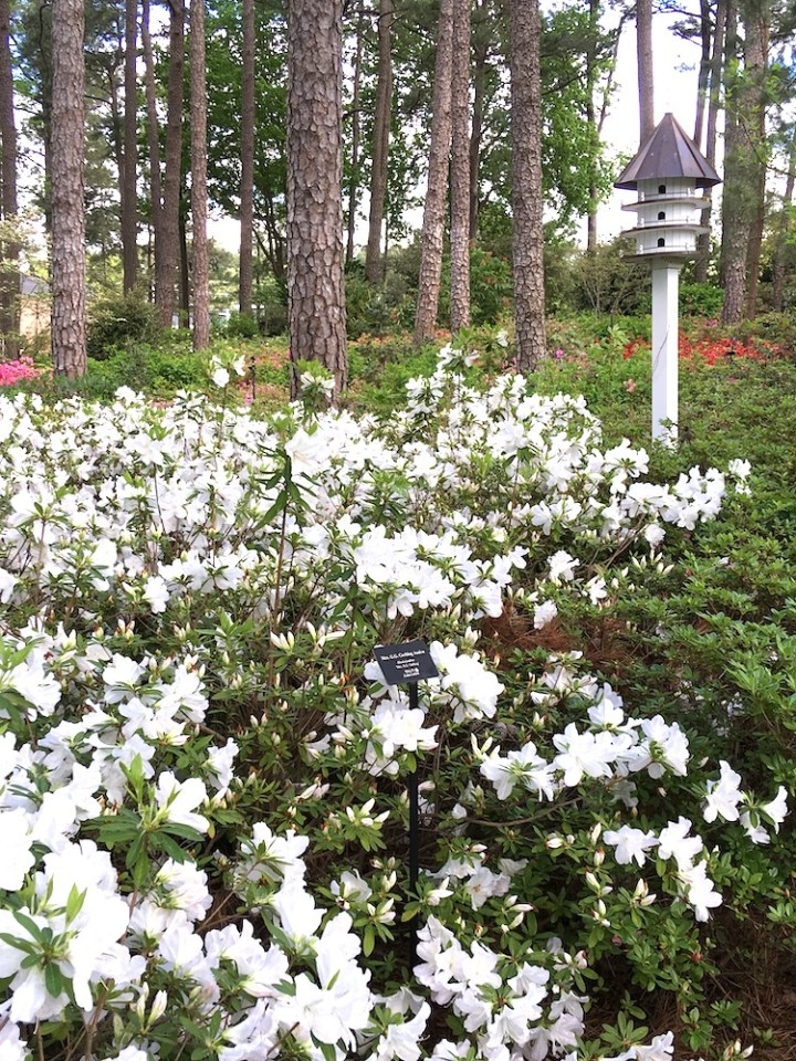 white azaleas blooming under trees with a birdhouse on a pole in back