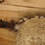 Baby barn swallows outside the cooking studio