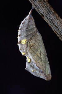 chrysalis hanging from a branch