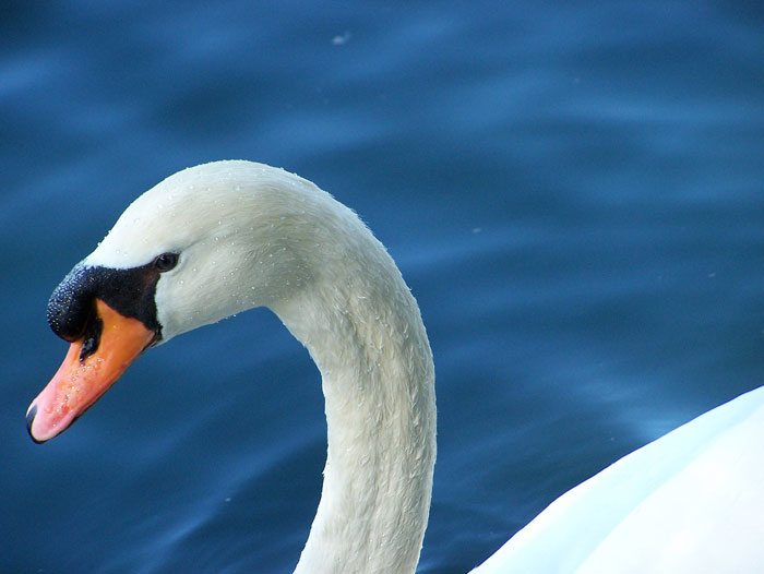 Swan: Closeup