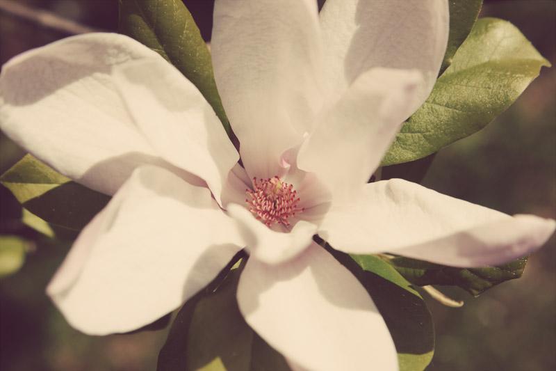 Japanese Saucer Magnolia - open