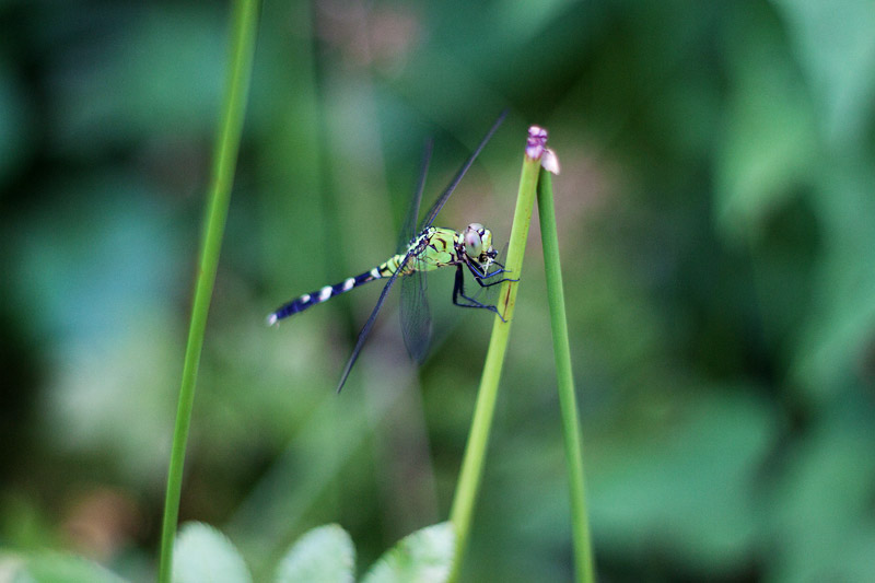 Female Eastern Pondhawk
