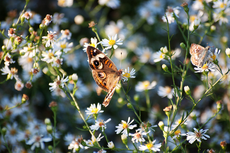 Common Buckeye and moth