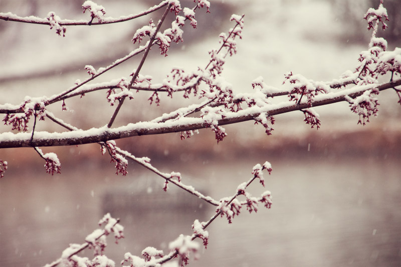 Spring buds covered in snow