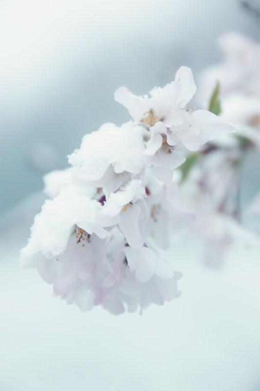 Spring bloom in snow