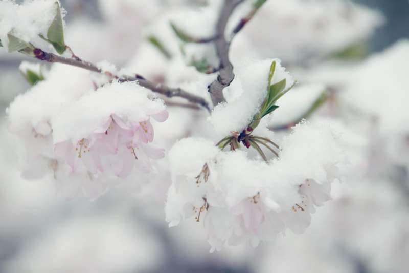 Spring blooms with snow