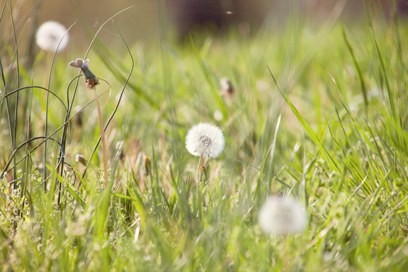 Dandelions, grass and a butterfly