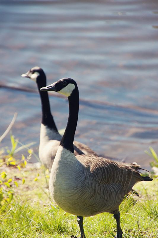 Mom and Dad Geese