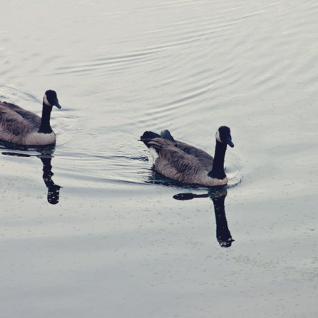 1007_geese
