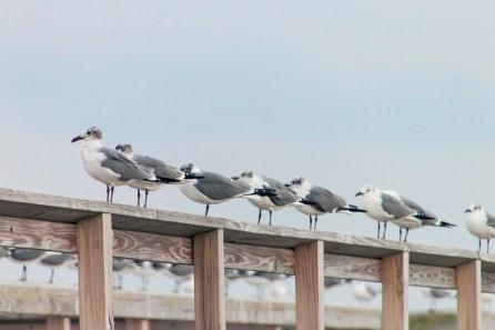 208_gulls2