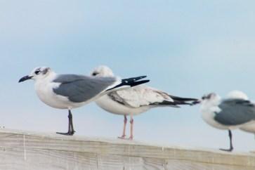 208_gulls3