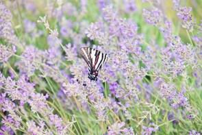 603_butterfly3