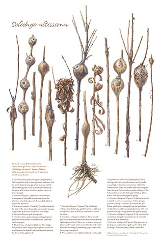 goldenrod_stem_galls_poster