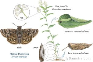 Mottled Duskywing life cycle illustration – Emily S. Damstra
