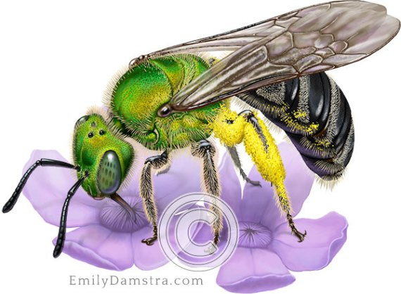 Illustration Bicolored striped sweat bee Blue vervain