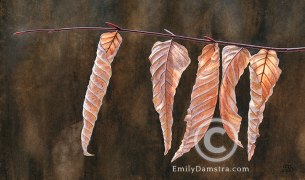 American beech leaves illustration Fagus grandifolia