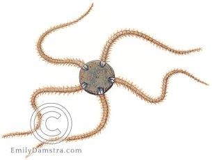 Dwarf brittle star – Emily S. Damstra