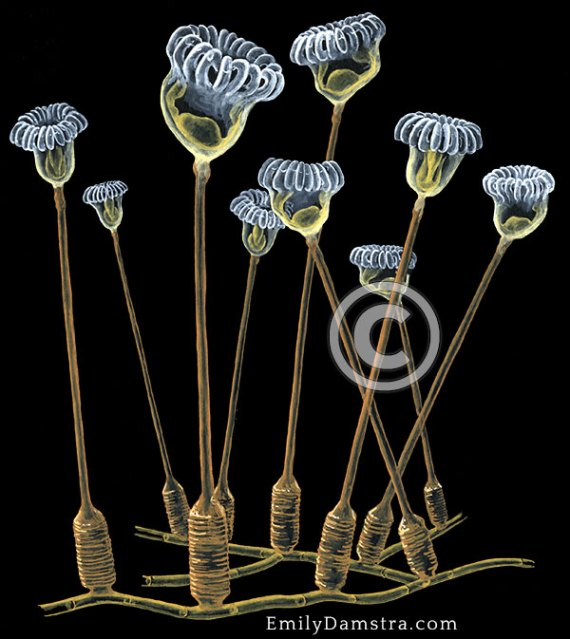 Barentsia discreta illustration