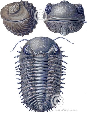 Devonian trilobite reconstruction Eldredgeops (Phacops) rana