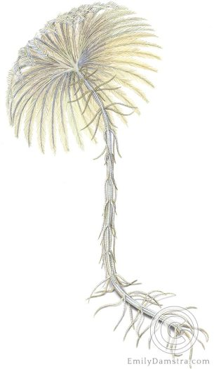 Crinoid illustration Endoxocrinus parrae