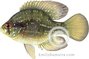 Blue-spotted sunfish illustration Enneacanthus gloriosus
