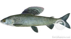 Arctic grayling Thymallus arcticus illustration